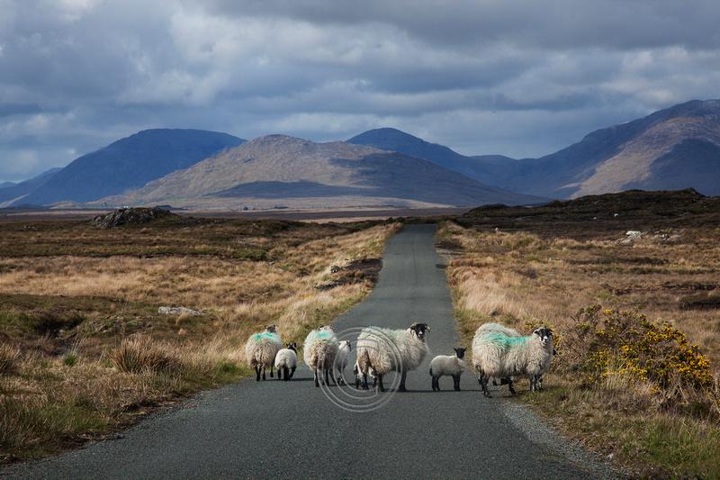 Black-face Connemara Mountain sheep